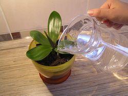 Як правильно поливати орхідею