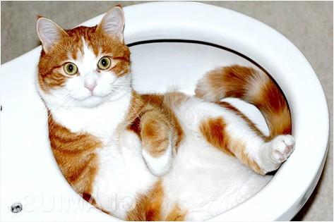 Фото - Як привчити кота до унітазу
