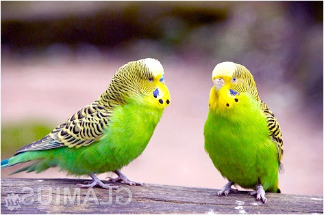 Фото - Як доглядати за хвилястим папугами