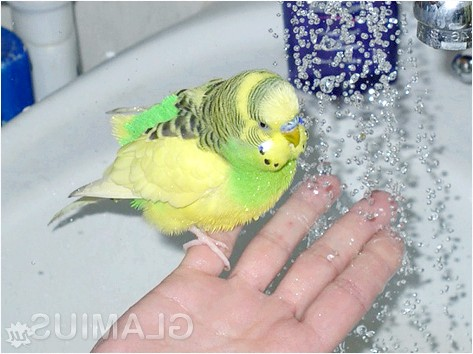Фото - Догляд за хвилястими папугами