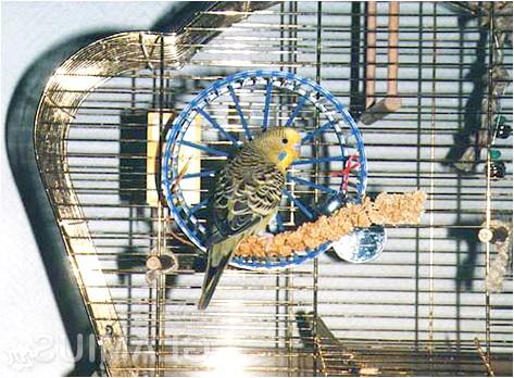 Фото - Облаштування клітини для хвилястого папужки