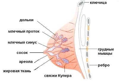 Молочні залози