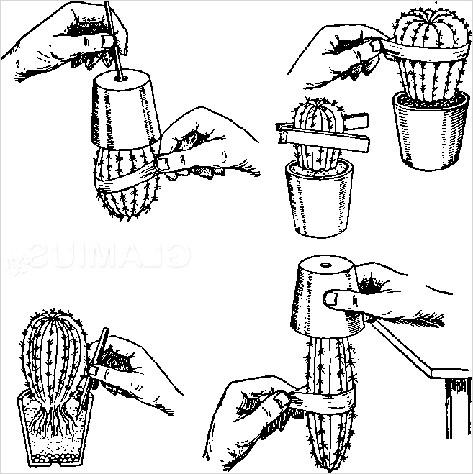 Фото - Правильна пересадка кактуса