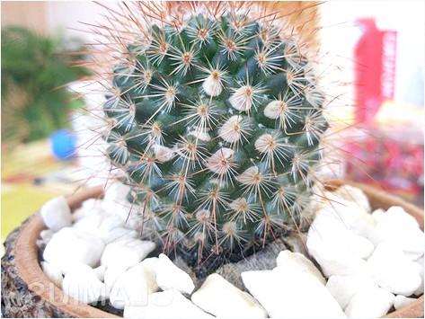 Фото - Обкладаємо кактус камінчиками