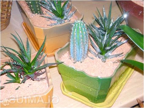 Фото - Пересаджені кактуси