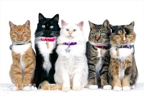 Фото - Яку породу кішок вибрати