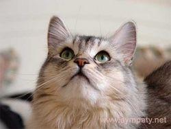 Яку породу кішок вибрати