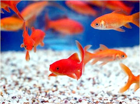 Фото - Перенаселення акваріума